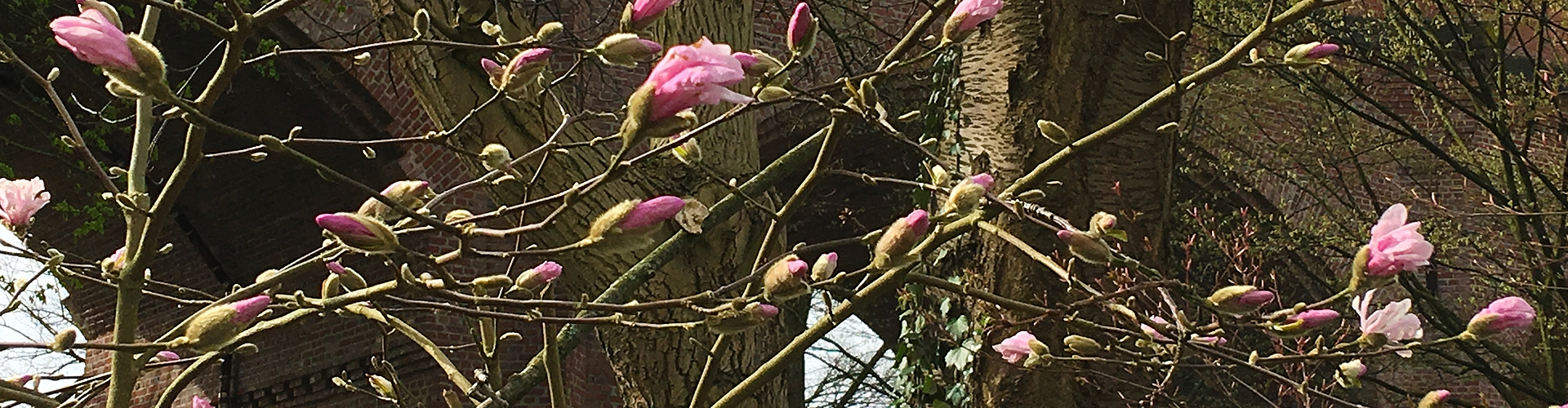 Kirschblüten in der Stadt